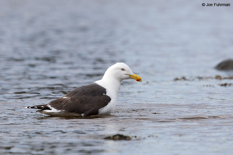 Great Black-backed Gull Acadia N.P., ME   May 2013