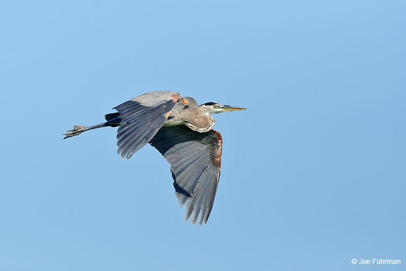 Great Blue Heron Tamaulipas, Mexico   Sept. 2016