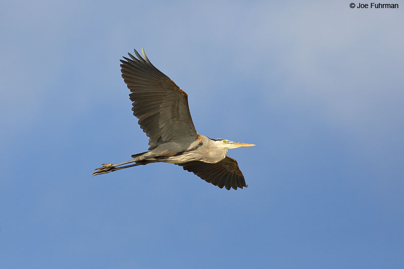 Great Blue Heron Islas Marietas, Nay., Mexico Dec. 2013