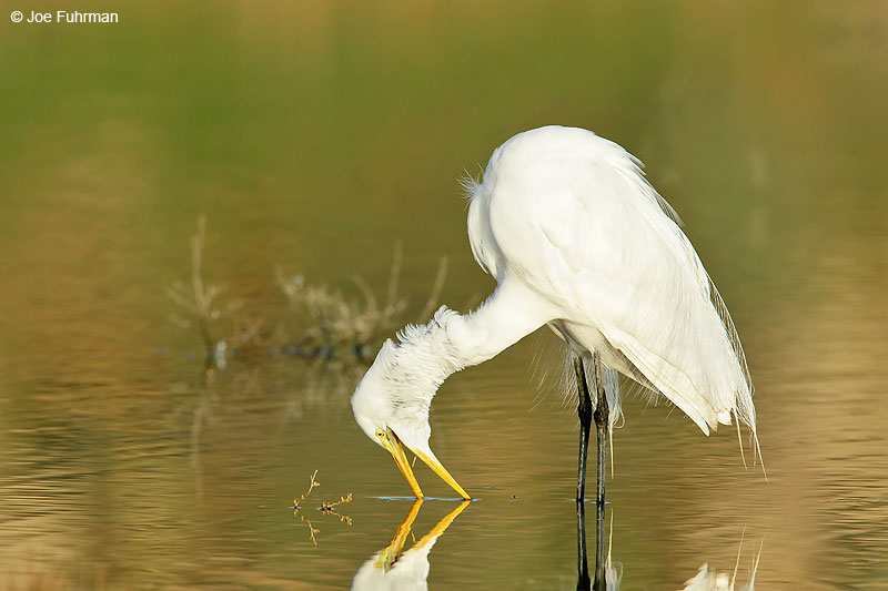 Great Egret Riverside Co., CA    February 2016