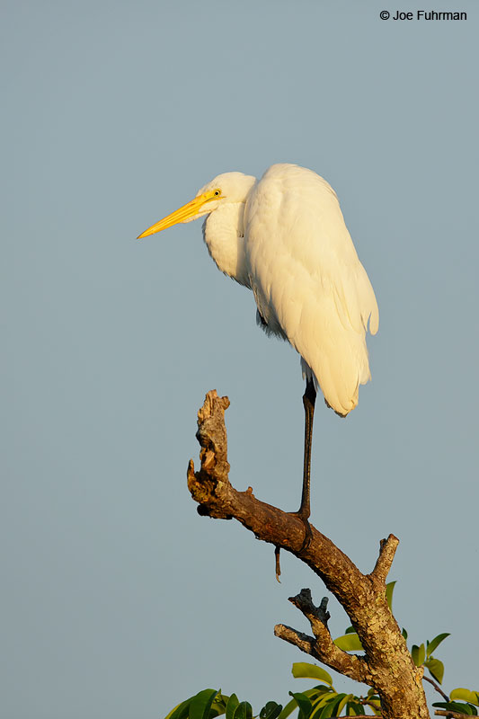 Great Egret San Blas, Nayarit, Mexico April 2015