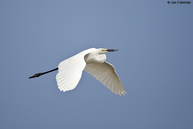 Great Egret Thailand Feb. 2012