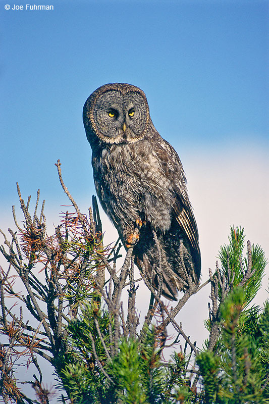 Great Gray Owl Deshutes N.F., OR July