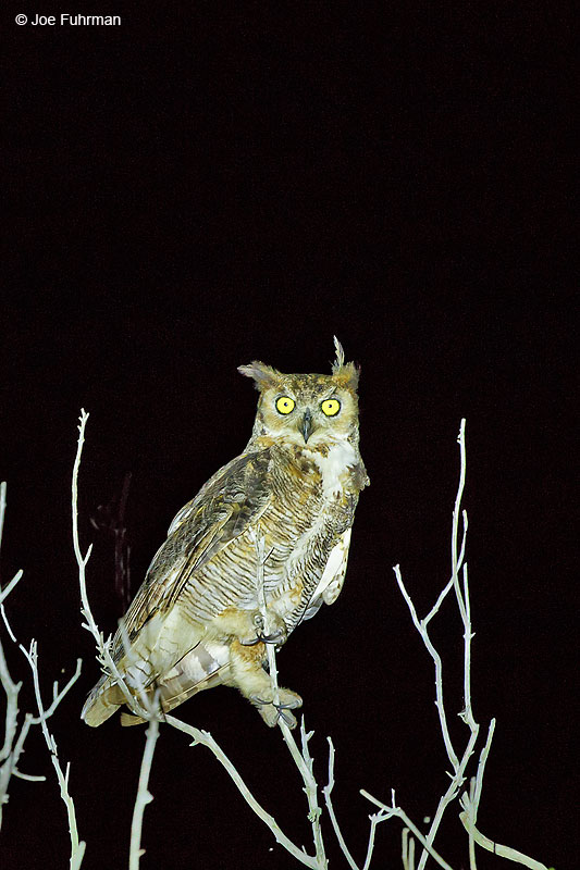 Great Horned OwlTamaulipas, Mexico Sept. 2016
