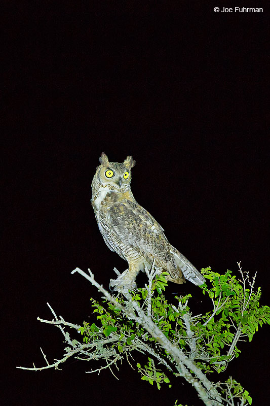 Great Horned Owl Tamaulipas, Mexico Sept. 2016