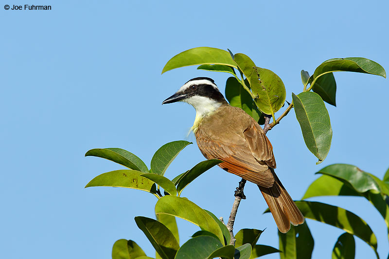 Great Kiskadee Jalisco, Mexico April 2015