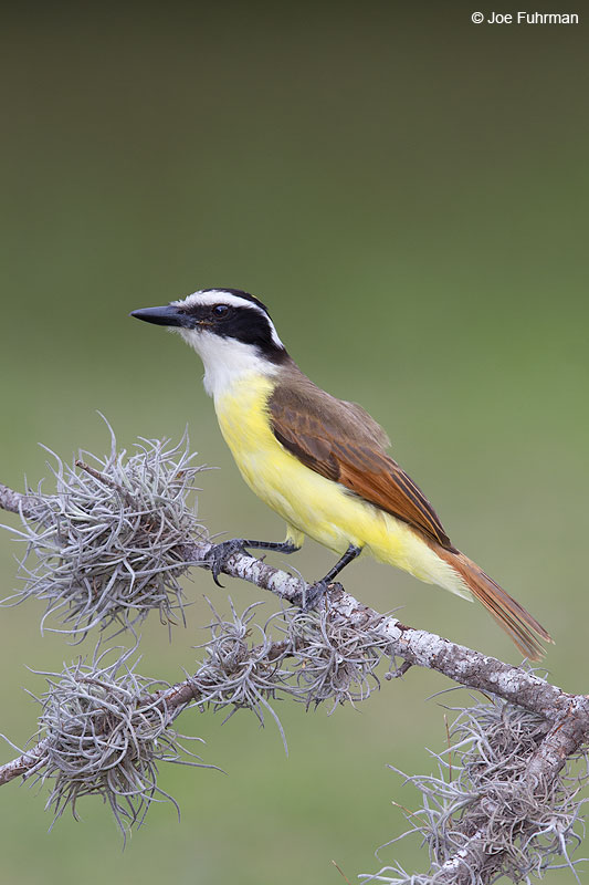 Great Kiskadee Hidalgo Co., TX Feb. 2014