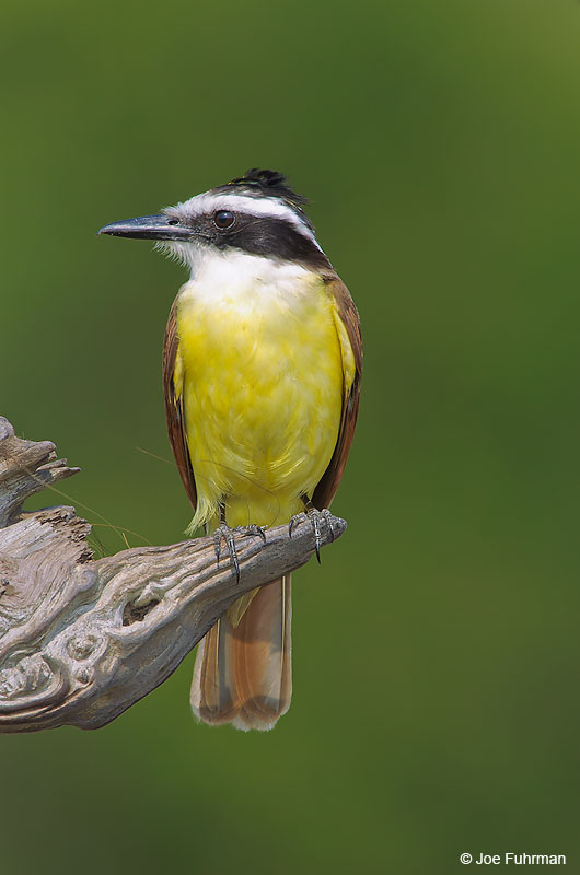 Great Kiskadee Cameron Co., TX May 2005