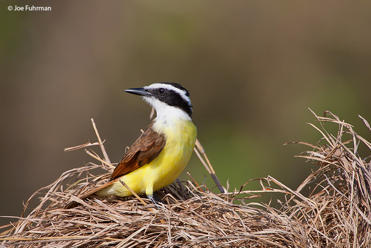Great Kiskadee on nest Gamboa, Panama March 2008