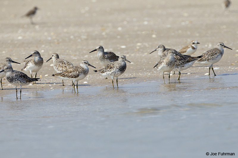 Great Knot Thailand Feb. 2012
