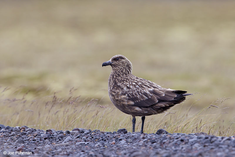 Great Skua Iceland July 2013