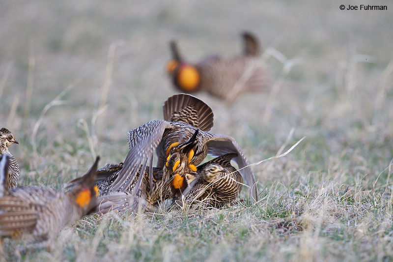 Greater Prairie-Chicken Lyon Co., KS   April 2013