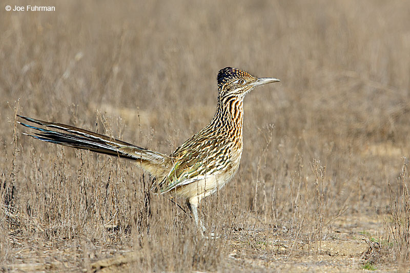 Greater Roadrunner Riverside Co., CA December 2015