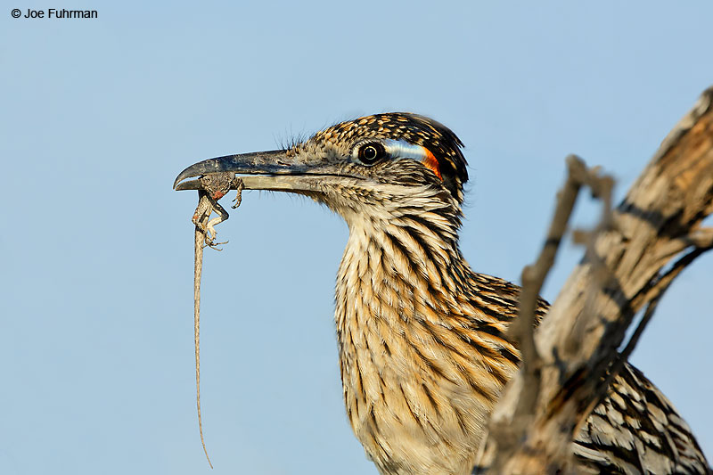 Greater Roadrunner Clark Co., NV June 2016