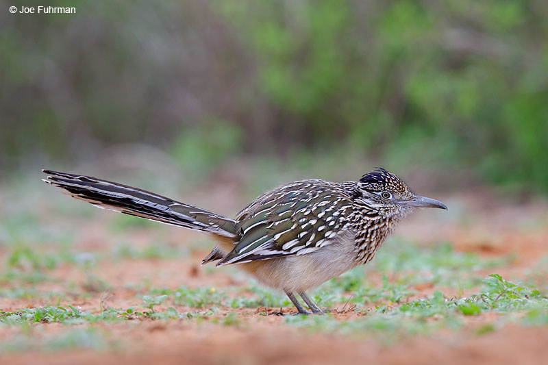 Greater Roadrunner Starr Co., TX March 2015