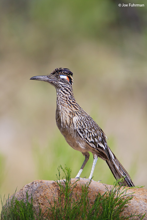 Greater Roadrunner Pima Co., AZ May 2009
