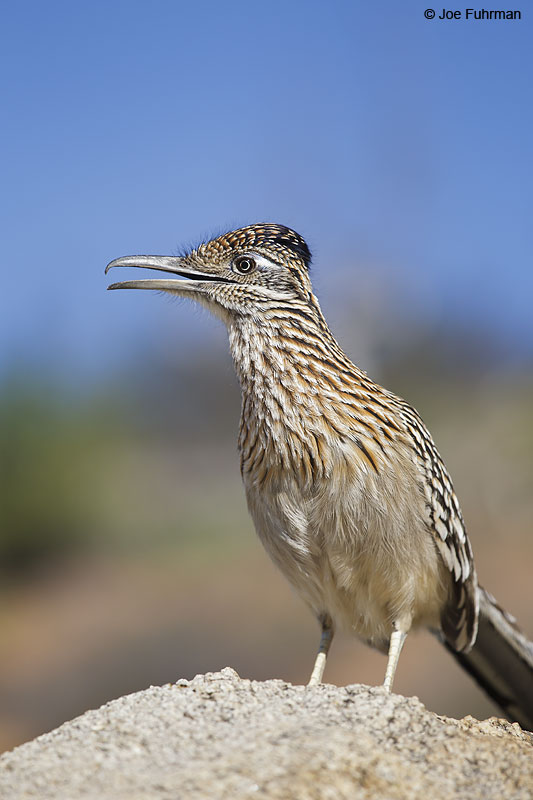 Greater Roadrunner San Diego Co., CA Feb. 2013