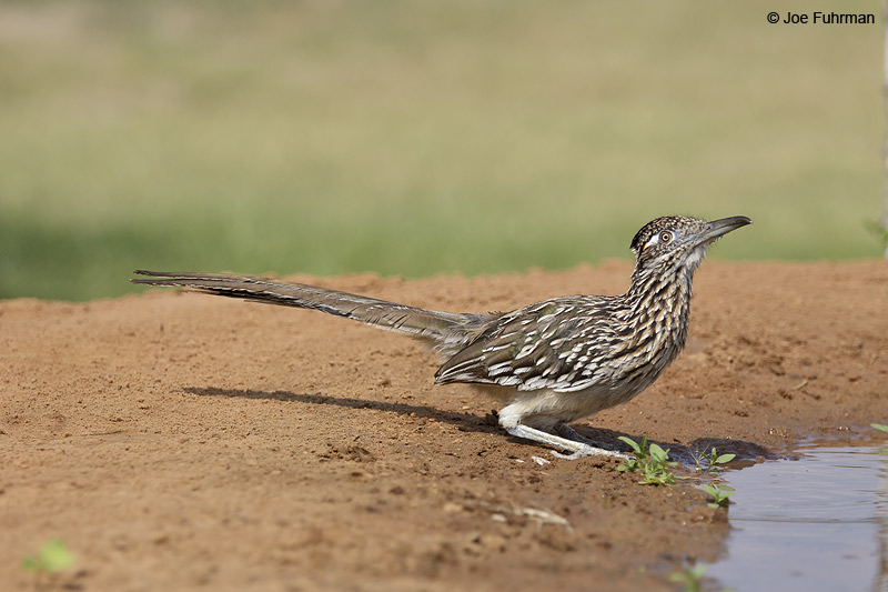 Greater Roadrunner Hidalgo Co., TX April 2012