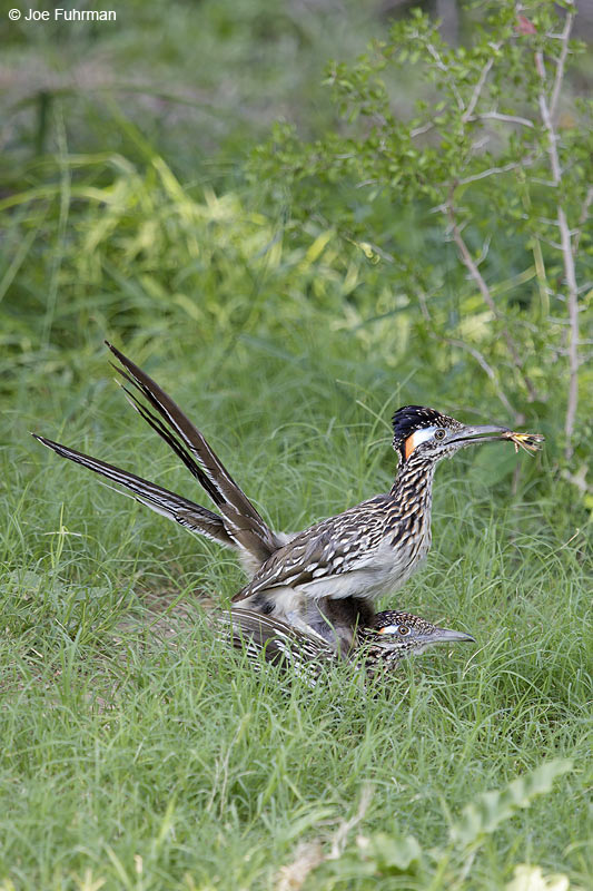 Greater Roadrunner (mating/copulating) Hidalgo Co., TX April 2012