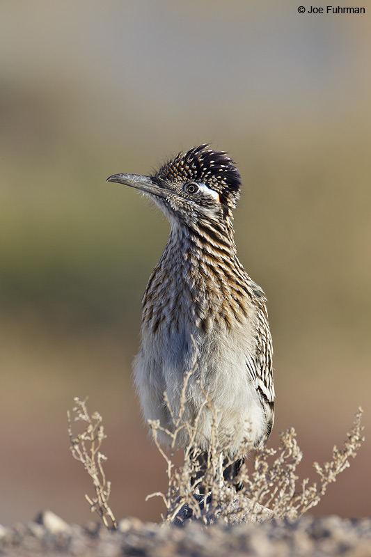 Greater Roadrunner Clark Co., NV Feb. 2011
