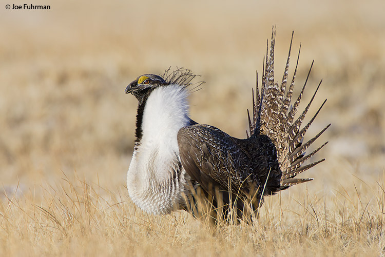 Greater Sage-Grouse Mono Co., CA   March 2007