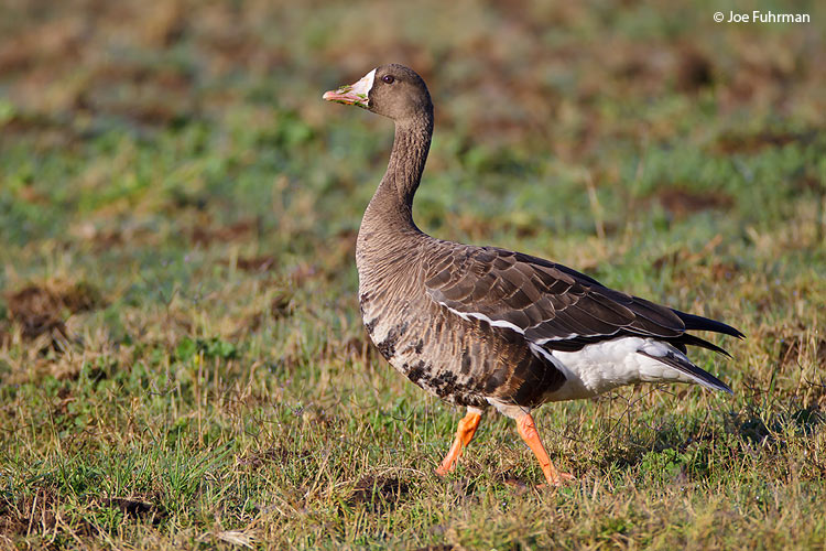 Greater White-fronted Goose L.A. Co., CA October 2009