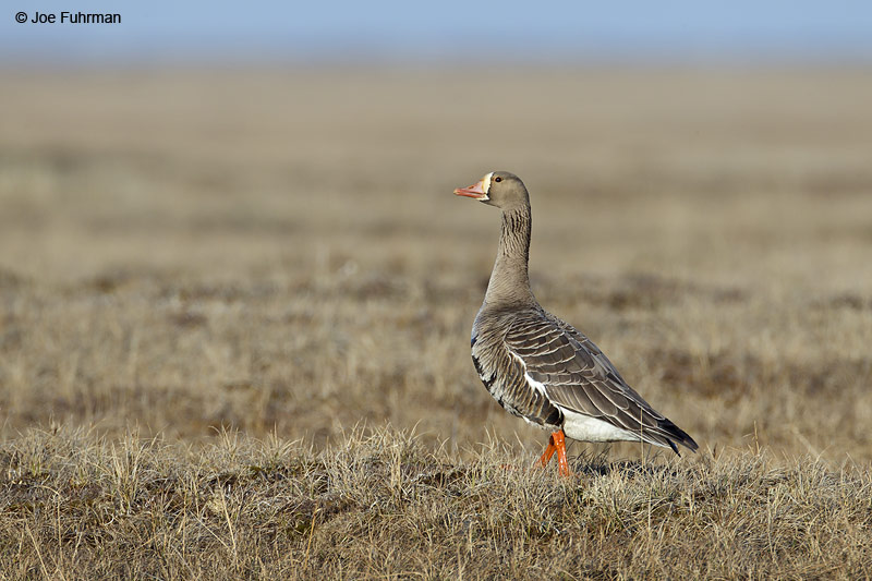Greater White-fronted Goose Barrow, AK June 2012