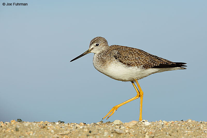 Greater Yellowlegs Riverside Co., CA December 2015