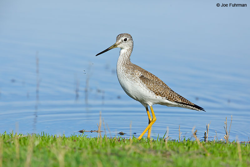 Greater Yellowlegs Riverside Co., CA    February 2016