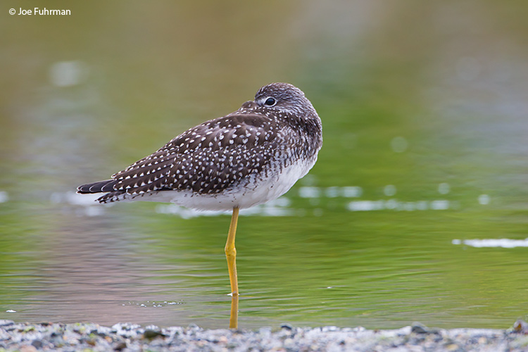 Greater Yellowlegs Newfoundland, Canada August 2011