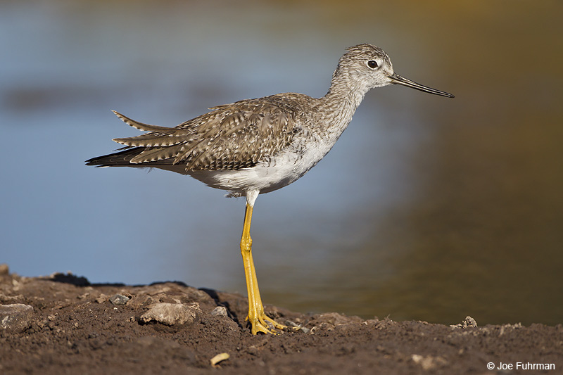 Greater Yellowlegs BCS, Mexico March 2011