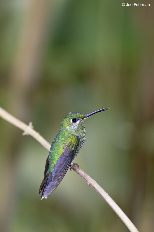 Green-crowned Brilliant Catarata del Toro, Costa Rica   Jan. 2014
