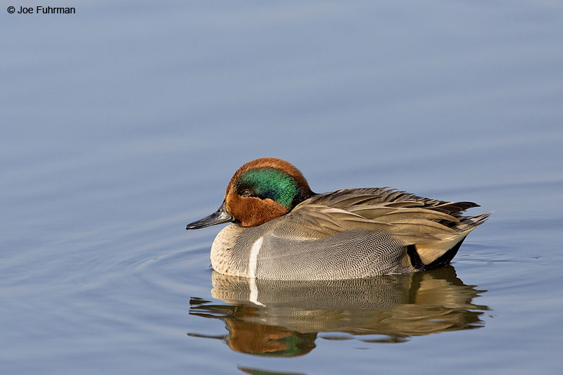Green-winged Teal Irvine, CA   Dec. 2013