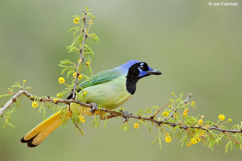 Green Jay Starr Co., TX   March 2015