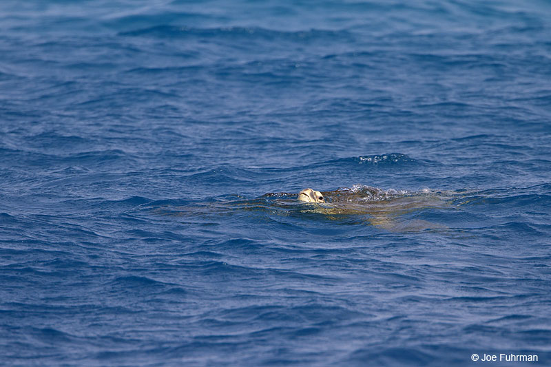 Green Sea TurtleMidway Atoll, HA March 2010