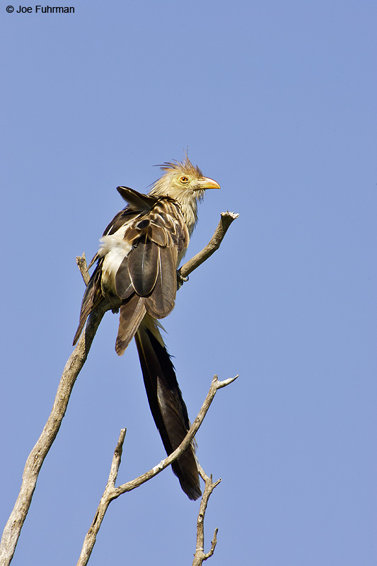 Guira Cuckoo Miranda, MS  BRZ March 2008 c. Joe Fuhrman