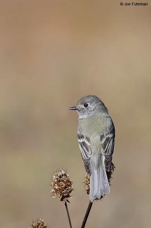 Hammond's_Flycatcher_W0G7520