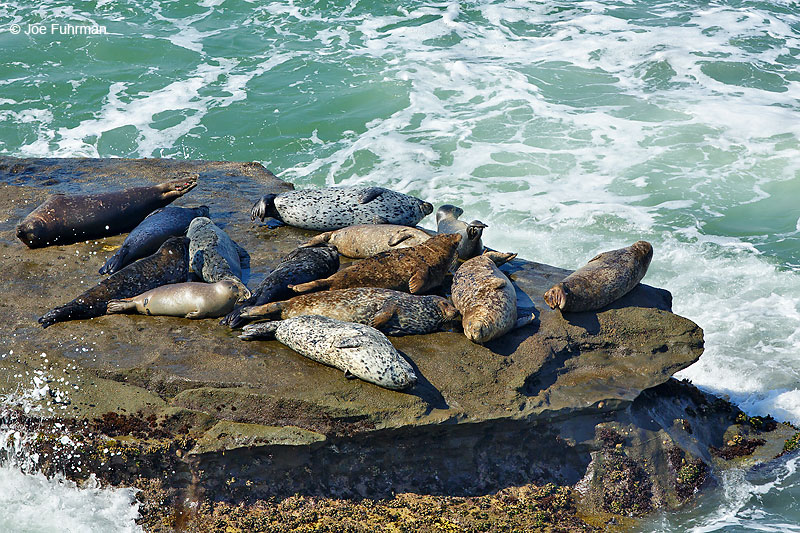 Harbor Seal L.A. Co., CA June 2016