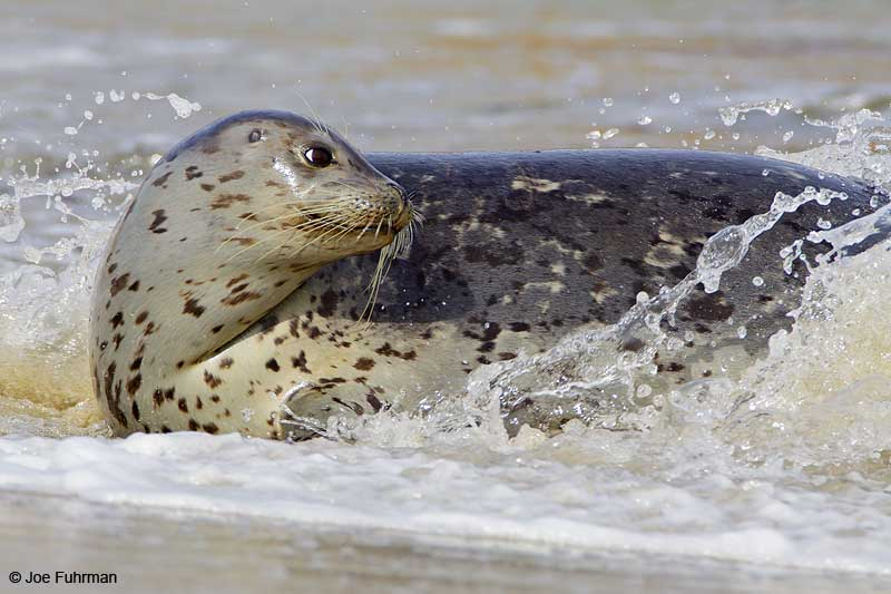 Harbor Seal San Diego Co., CA December 2009