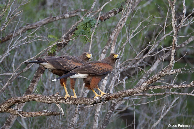 Harris's Hawk Starr Co., TX    April 2012