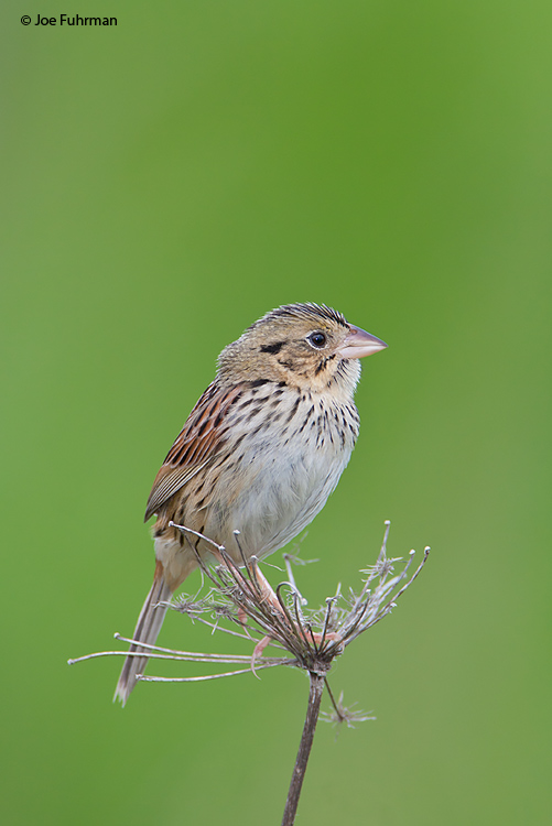 Henslow's Sparrow Muskingum Co., OH May 2009