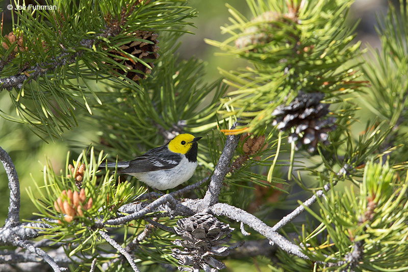 Hermit Warbler Sierra Co., CA June 2014