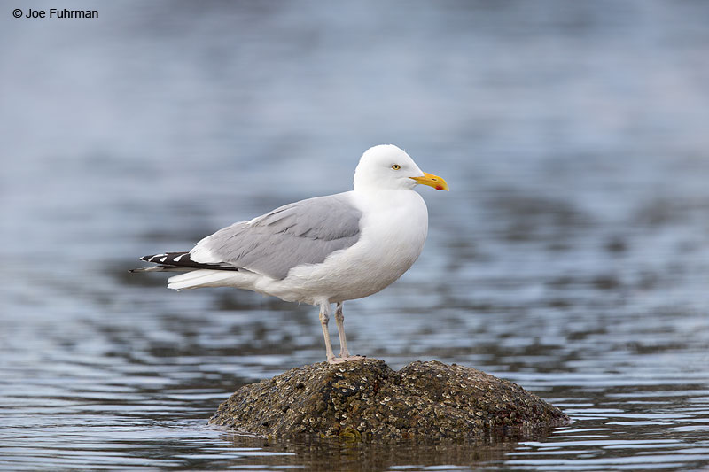 Herring Gull Acadia N.P., ME May 2013