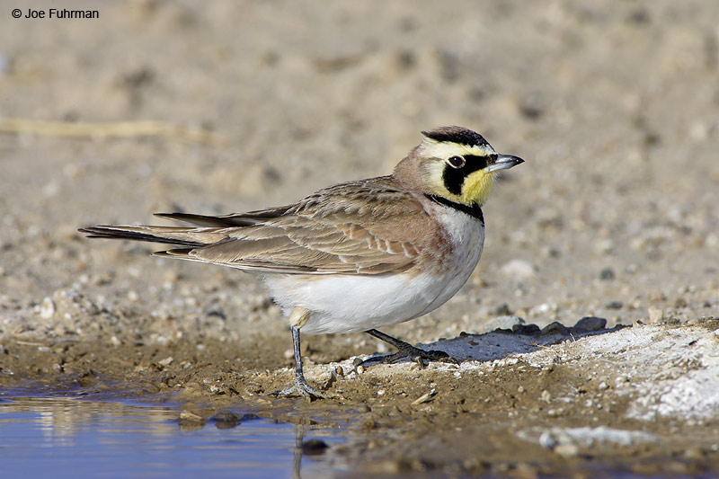 Horned Lark L.A. Co., CA   January 2007