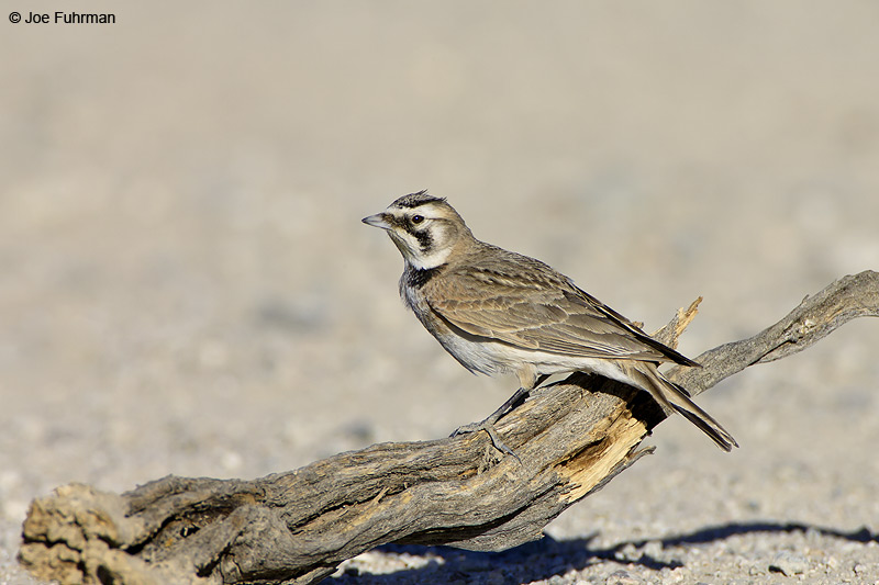Horned Lark L.A. Co., CA February 2007