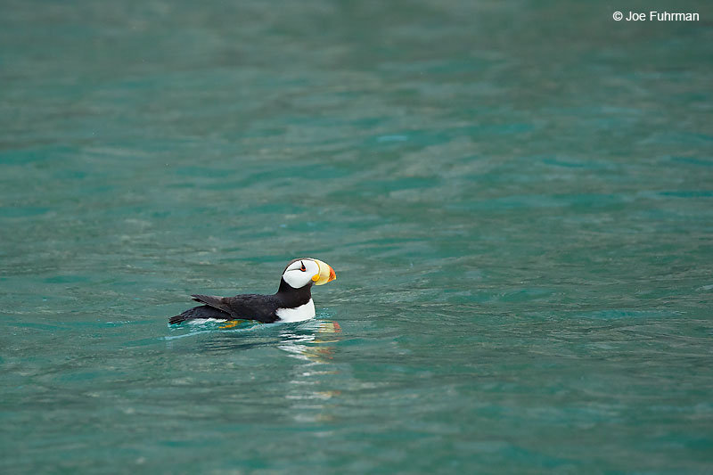Horned Puffin Lake Clark National Park, AK   August 2016