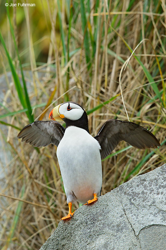 Horned PuffinLake Clark National Park, AK   August 2016