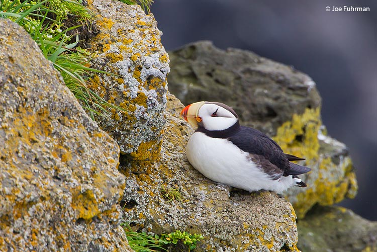 Horned Puffin St. Paul Island, AK Aug. 2010