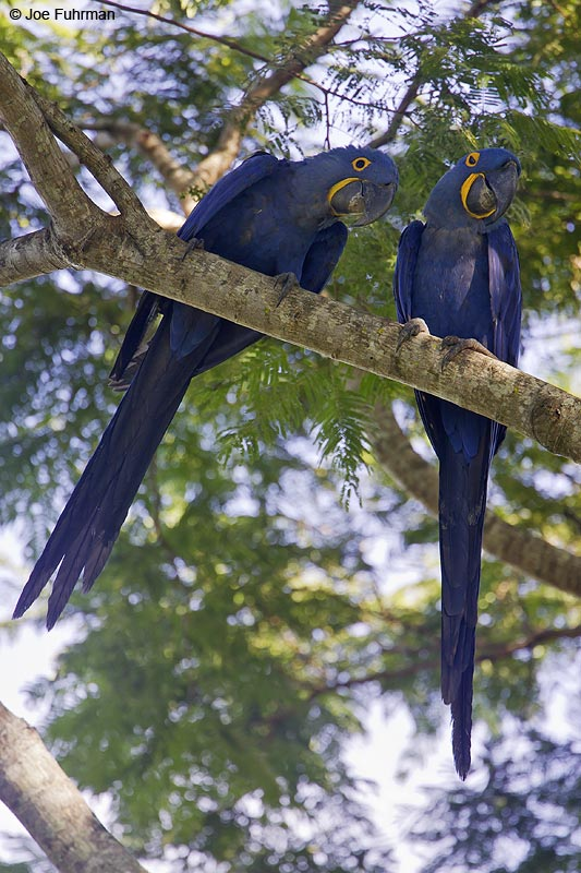 Hyacinth Macaw Miranda, MS  BRZ March 2008 c. Joe Fuhrman
