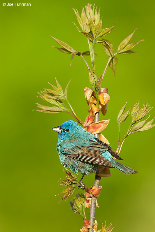 Indigo Bunting maleLackawanna Co., PA   May 2016